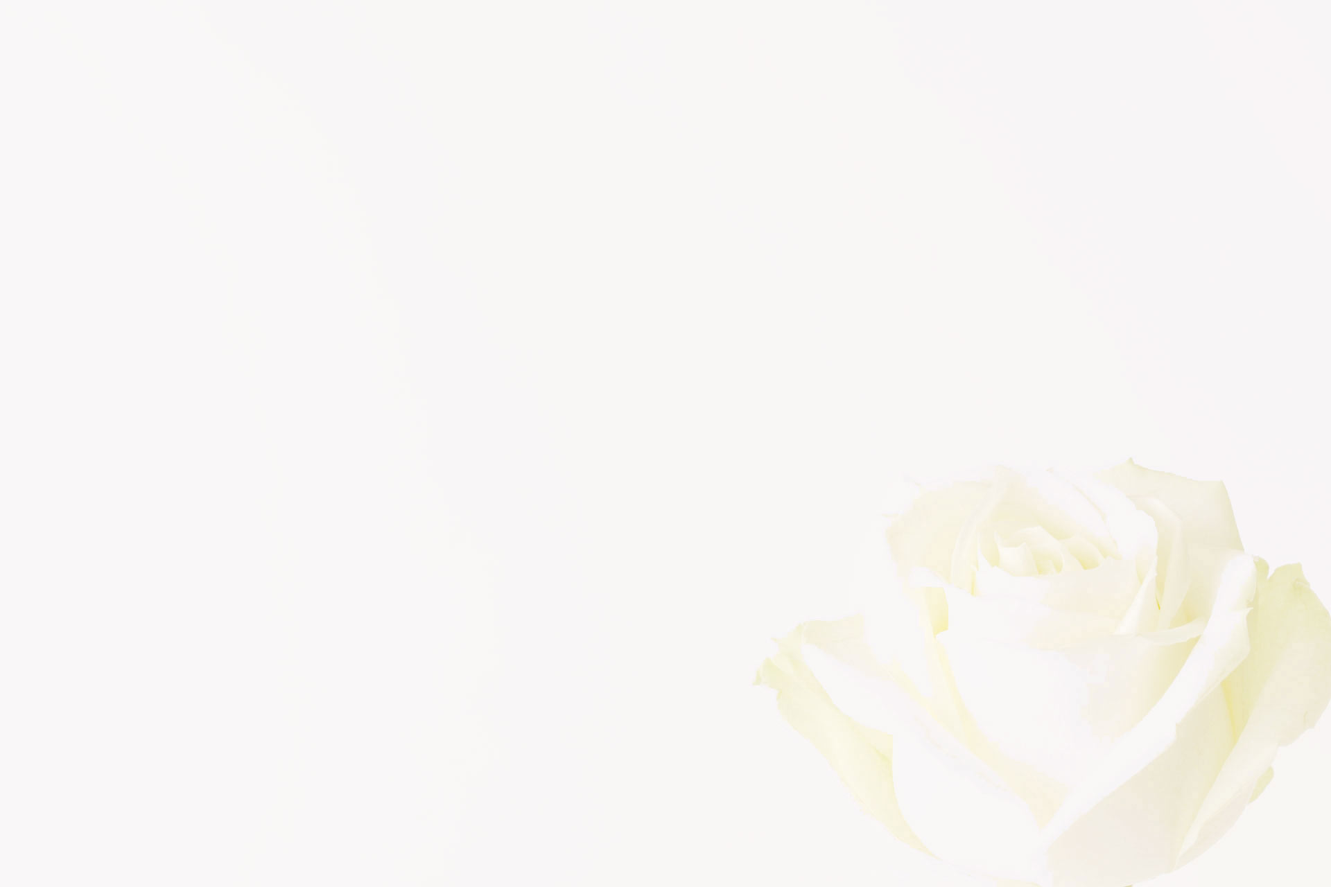 background photo of white rose